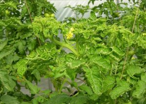 chlorotic curliness