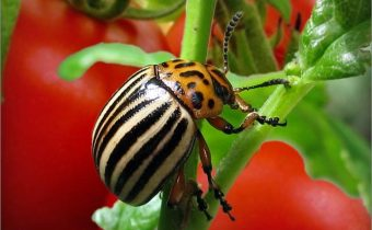 Колорадски бръмбар по домати