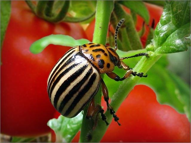 Colorado potato beetle on tomatoes