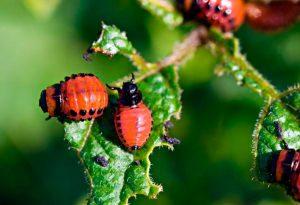 Harm from the Colorado potato beetle