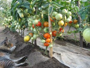 tomatoes on the garden