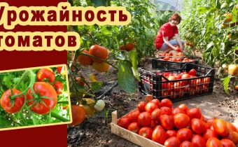 How to increase the fruiting of tomatoes