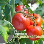 Virus de la mosaïque de la tomate
