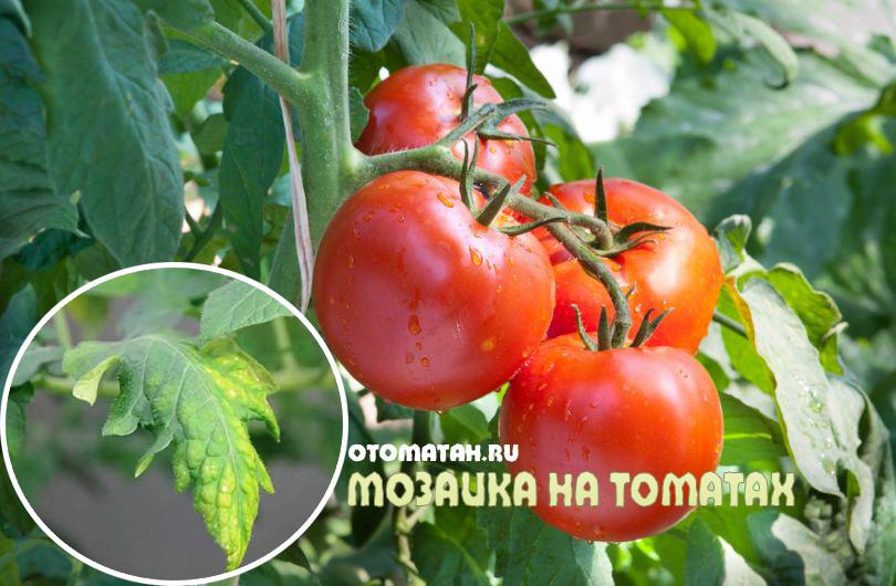 Мозаечен вирус от домати