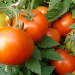 Ammoniac pour la tomate