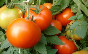 Ammonia for tomato