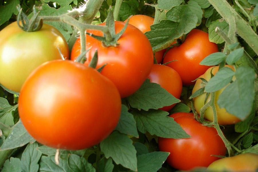 Амоняк за домати
