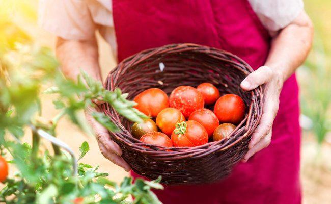 За доматите бяха големи