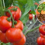 Irrigation goutte à goutte de tomates en bouteilles