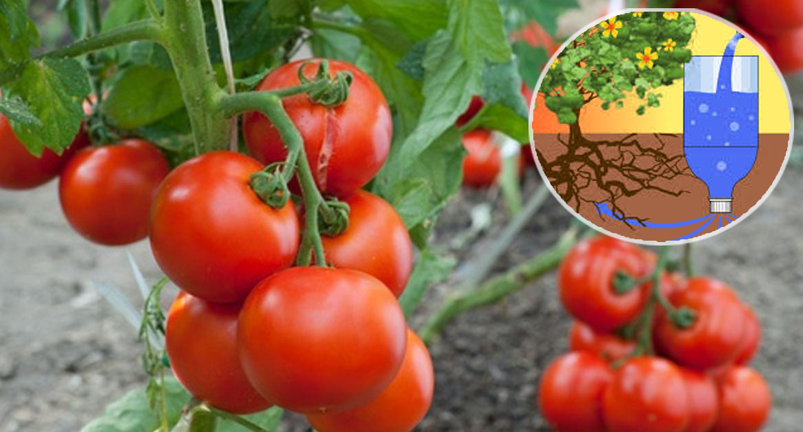 Drip irrigation of tomatoes in bottles