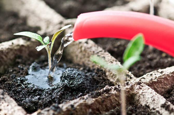 How to water the seedlings of tomatoes