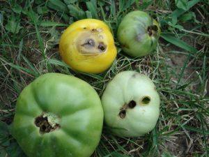 развалени домати