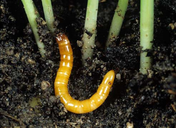 червеи