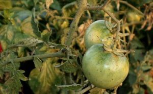 Disease gray rot on tomatoes