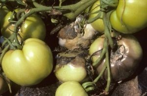 Infected tomatoes