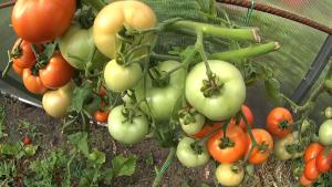 tomates sur une branche