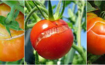Cracking fruit de la tomate