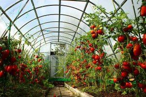 Attachez les tomates dans une serre