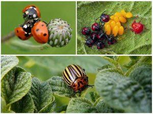 Enemies of the colorado potato beetle