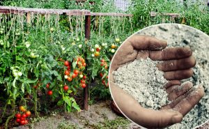 Ash as a fertilizer for tomatoes