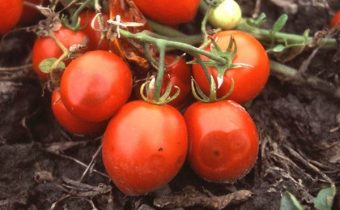 anthracnose fruit tomatoes
