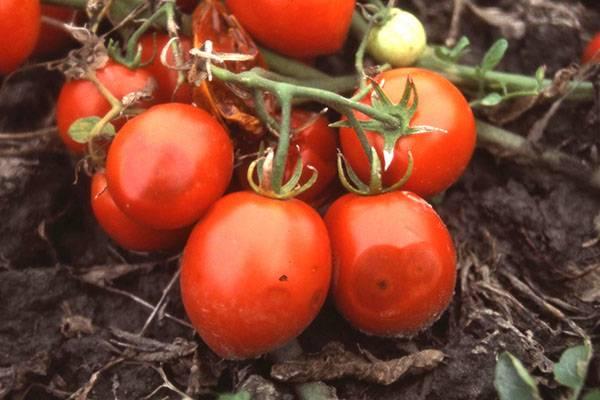 плодови домати с антракноз