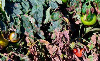 Кладоспорията на домати