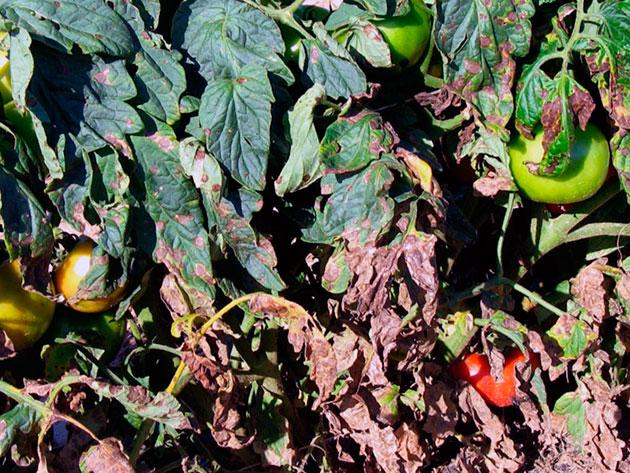 klaosporiose de tomates