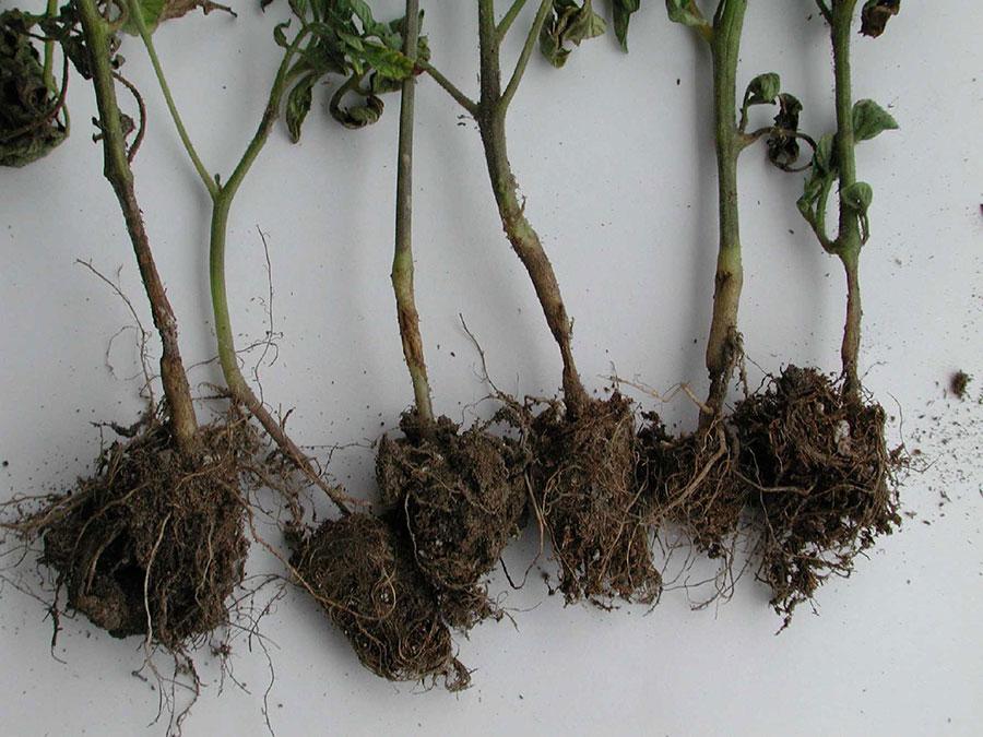 La pourriture des racines