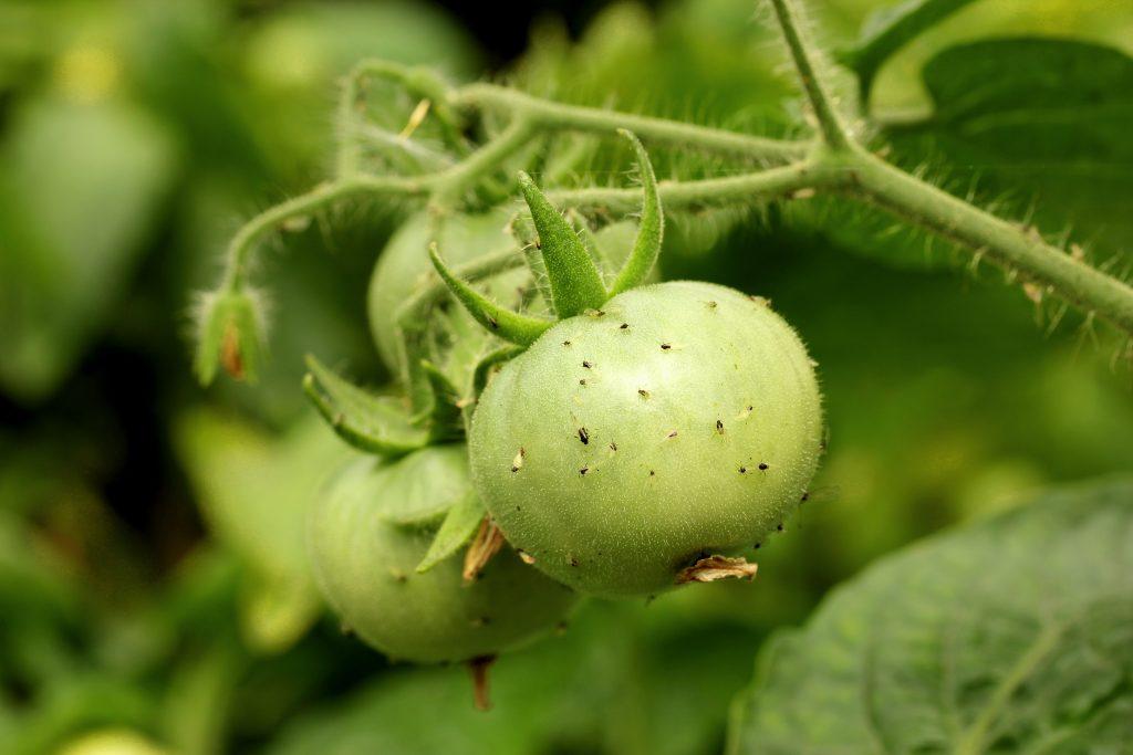 midges pada tomato
