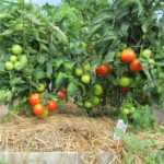 mulching tomatoes in the greenhouse