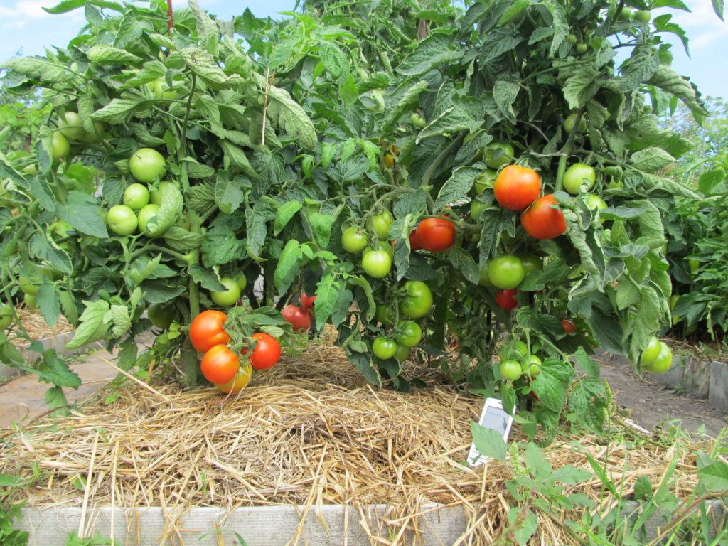 paillage de tomates en serre