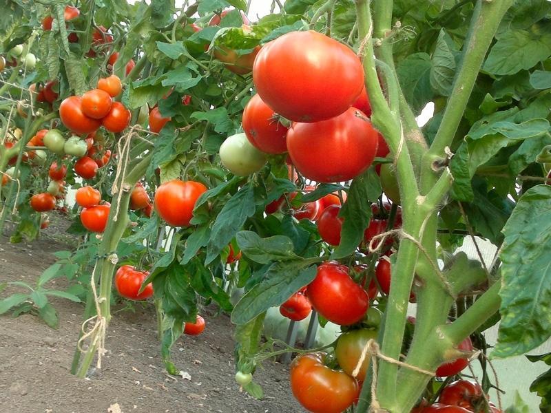 плодови домати