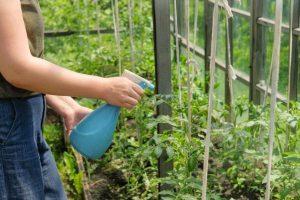 sprinkling tomatoes