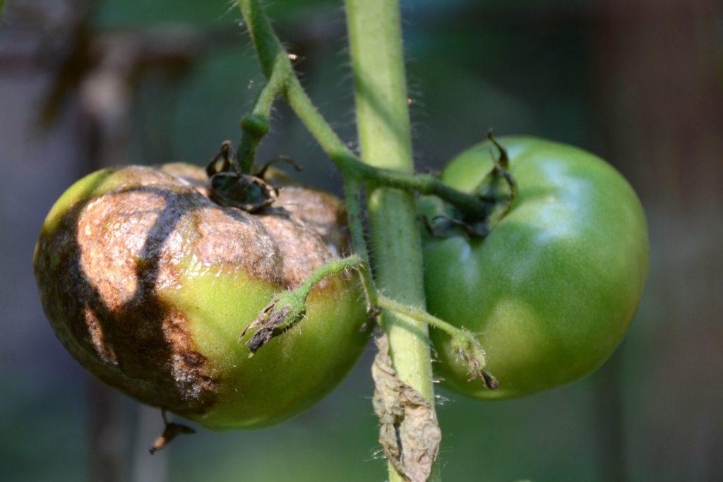 черни домати