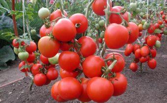 oxyh for tomato