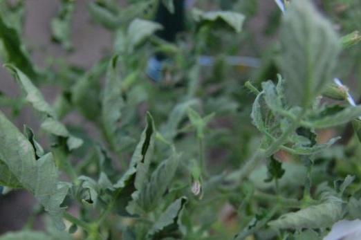 усукани листа от домати