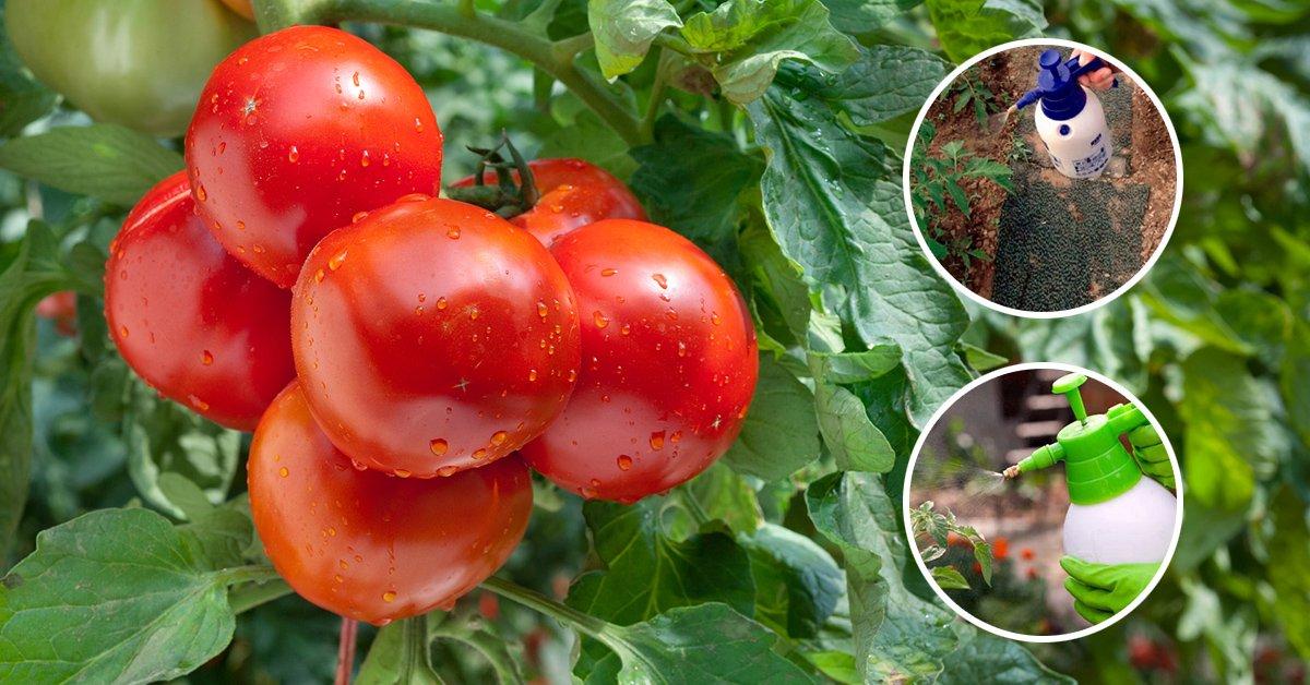 Sel pour les tomates