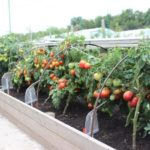 ridge boxes for tomatoes