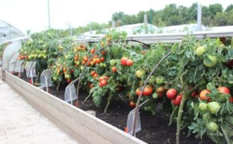 ridge boxes for tomatoes