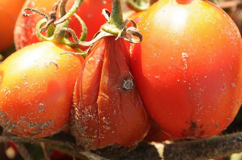 tomato rot of water