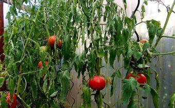 poor growth tomato
