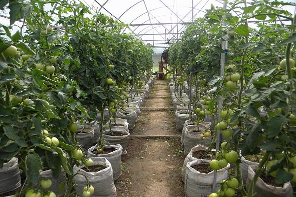 домати в торби