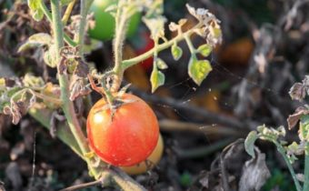 acariens sur les tomates