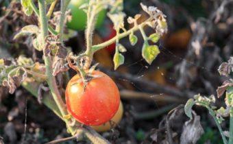 на домати
