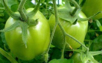 tomato column