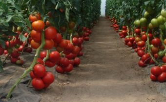 care for tomatoes in autumn