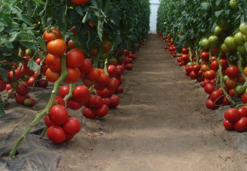soin des tomates en automne