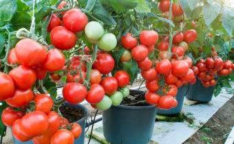 отглеждане на домати в кофи