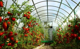tomatoes to the roof of the greenhouse